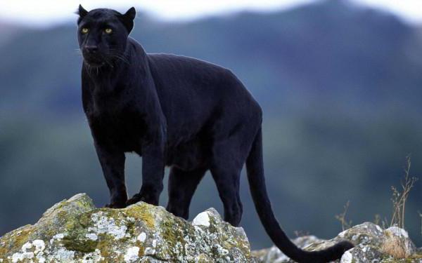 """Résultat de recherche d'images pour """"le jaguar noir"""""""