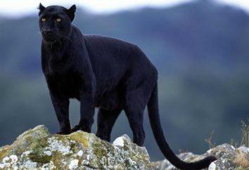 misterioso gato selvagem – jaguar preto: Descrição, habitat
