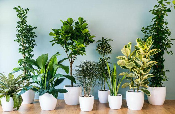 Variedad de plantas de interior. Nombres, el cultivo y mantenimiento