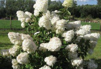 """Hydrangea paniculata """"Phantom"""" – piękny bukiet w ogrodzie"""