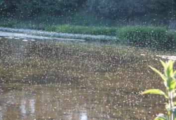 Komary – to … Co owady chowają się za tą nazwą?