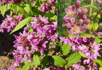 Deutz (Bush): uroczy roślin ozdobnych na chacie