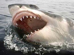 Le cartilage de requin – le bon docteur qui donne la santé et de la jeunesse pour les années à venir