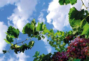 """Grade """"Sofia"""" winogrona: Opis. Jak rosną duże """"Sofia"""" winogrona: wskazówki i triki"""