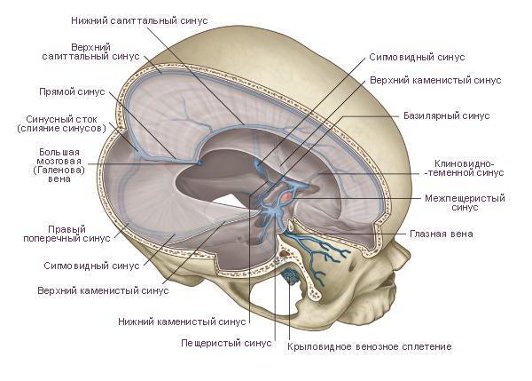 Stirnhöhlen der Dura mater (venöse Sinus, Hirnhöhlen): Anatomie ...