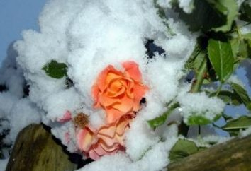 La fermeture des roses en hiver: les producteurs de conseils