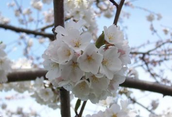 Wiśnia – królowa ogrodzie wiosną