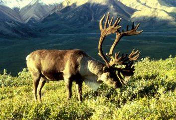 rogi jeleni (patrz zdjęcie). Dlaczego jelenie rogi? Gdy ich poroża reniferów rzucić?