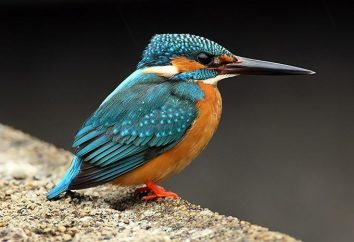 Kingfisher Często: opis ze zdjęciami