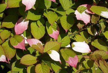 Bylina liana alternatywnie pionowe krajobrazu ogród