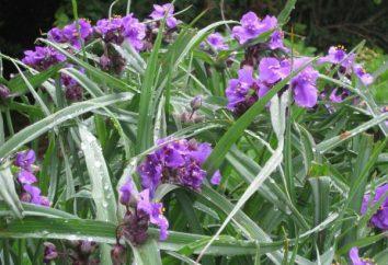 Tradescantia Garten – cute naprihotlivoe Pflanze