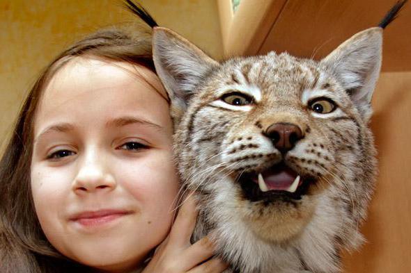 gewicht sibirische katze