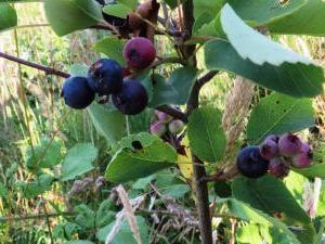 La guérison amélanchier-berry. propriétés utiles et contre-indications