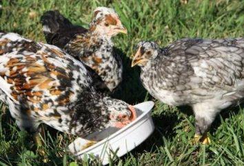 Qu'est-ce que pour nourrir les poulets correctement