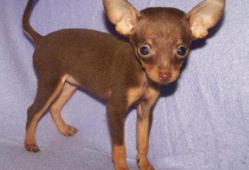 Smooth toy terrier: opis rasy, pielęgnacji i konserwacji