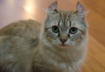 Amerykański Curl – kot towarzysz. Opis gatunków