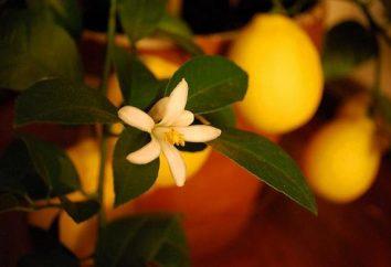 Come far crescere un limone – tutti i processi delle sottigliezze del