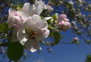 Come prendersi cura del melo in primavera? Come spruzzare le mele in primavera?