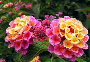 Lantana – une fleur qui plaît à l'oeil