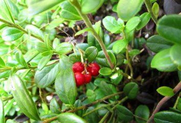 Cranberry liść: szkody i korzyści, instrukcje użytkowania, właściwości, przeciwwskazania