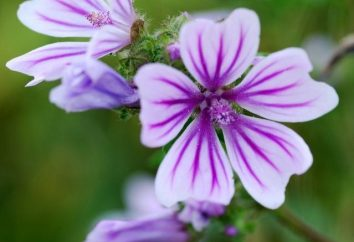 flores Mallow – planta ornamental em sua casa de campo