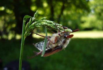 Jak radzić sobie z majowymi chrząszkami?