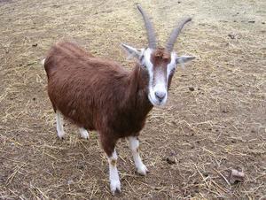 alergias ao leite de cabra – um produto indispensável e útil