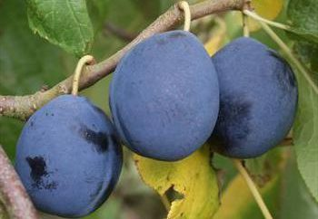 """Plum """"niebieski prezent"""": charakterystyka odmian, sadzenie i zasad pielęgnacji"""