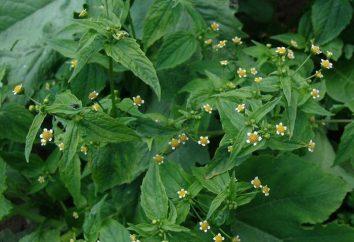 Amerykański zioło – chwast leczniczy