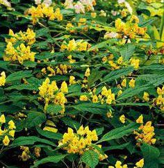 Permaloso – una pianta che è capace di molte cose
