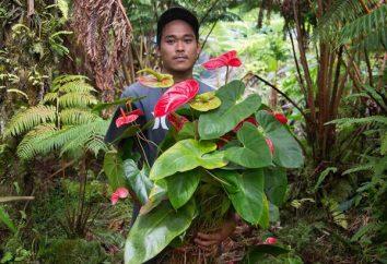 Anthurium: greffe à domicile et les soins