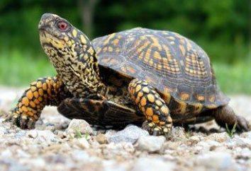 Lo que hay que alimentar a las tortugas? Consejos para principiantes