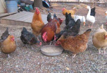 Jedzą kury na fermie drobiu w domu?