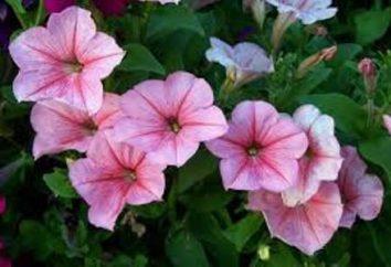 Petunia – fiore annuale erbaccia