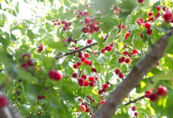 Cherry – Baum oder Strauch? Die Frucht der Kirsche (Foto)