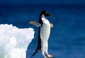 Perché un pinguino non può volare: il parere degli studiosi moderni