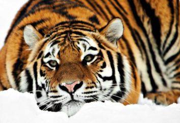 Amur Tiger: interesujących faktów na temat zwierzęcia