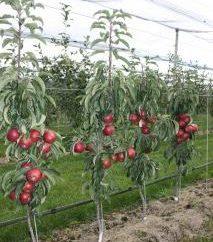 Apple Tree Halskette Moskau: Bewertungen, Beschreibungen
