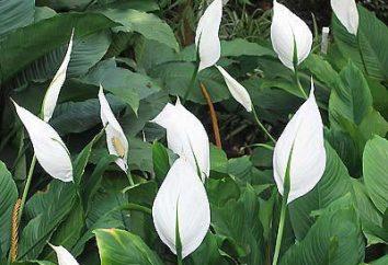 La propagation de Spathiphyllum à la maison
