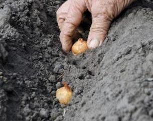 Come far crescere le cipolle sul giardino cucina ea casa