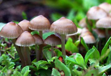 Mushroom – se trata de un animal o una planta?