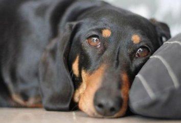 Los síntomas de la enteritis por parvovirus en los perros y gatos. tratamiento de la enfermedad