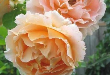 Escalada rosa Polka: fotos, descrição, plantio e cuidados
