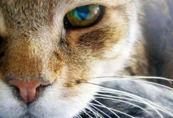 Supurantes ojos de un gato, ¿qué hacer? ¿Por qué se infectan ojos de gatos