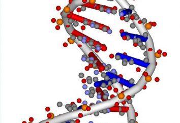 Nukleotyd – co to jest? Kompozycja struktury, liczbę i sekwencję nukleotydów w DNA łańcucha