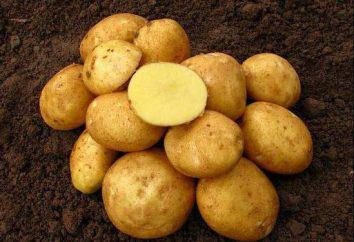 Vineta – variété de pommes de terre. Description, photos