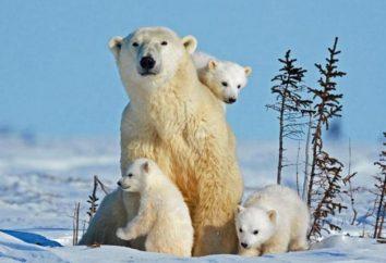 Znieść i Penguin. Dlaczego nie niedźwiedzie polarne jedzą pingwiny?