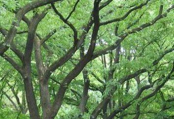 Elm – arbre survivant