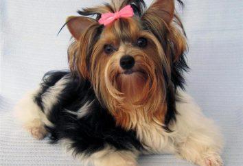 Yorkshire terrier: una descripción de la raza. El mejor perro para su hijo
